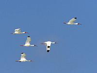 A flock of white Ibises flying in a blue sky.