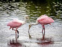 Roseate Spoonbills in river water at Myakka River State park in Sarasota Florida USA.