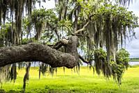 Live Oak tree branch with Spanish Moss with yellow green spring field in background at Myakka River State Park in Saraosta Florida USA.