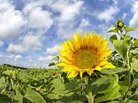 Big yellow sunflower aganist a blue sky.