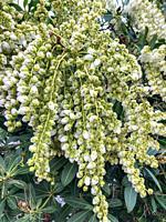 Cherry laurel (Prunus laurocerasus) is an evergreen species of cherry (Prunus), native to regions bordering the Black Sea.