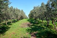 a olive and orange groves in spring.