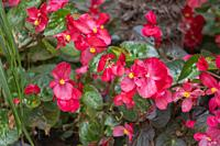 Red begonia flower in flower garden Elche Spain.