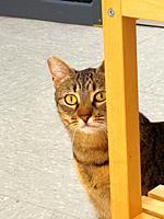 Tabby cat hidden behing a table.