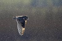 Short-eared Owl-Asio flammeus hunts during snow.