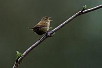 Wren-Troglodytes troglodytes in song.
