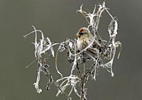 Common Redpoll- Acanthis flammea feeding on seeds from Great willowherb-Epilobium hirsutum.