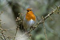 Robin-Erithacus rubecula in full song.