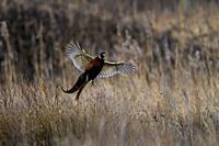 Male Pheasant-Phasianus colchicus lands in grassland.