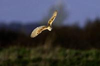 Barn Owl-Tyto alba.
