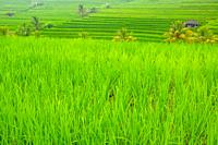 Indonesia. Terraces of rice fields with a young piglet. Huts and palm trees.