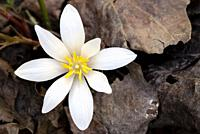 Bloodroot Flower (Sanguinaria canadensis) - Holmes Educational State Forest, Hendersonville, North Carolina, USA.
