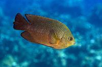 Brown Damselfish (Pomacentrus opisthostigma), Jemeluk Bay Wall dive site, Amed, Bali, Indonesia.