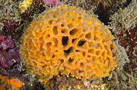 Brown Honeycomb Sponge (Holopsamma arborea), Jemeluk Bay Gallery dive site, Amed, Bali, Indonesia.