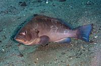 Wavy-lined Grouper (Epinephelus undulosus), Segara dive site, Amed, Bali, Indonesia.