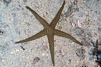 Brown Mesh Sea Star (Nardoa galatheae), Pyramids dive site, Amed, Bali, Indonesia.