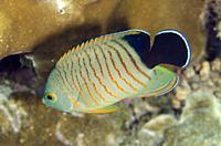 Eibl's Angelfish (Centropyge eibli), Jemeluk Bay Wall dive site, Amed, Bali, Indonesia.