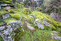 Pines, rocks with moss and lichens. Madrid. Spain. Europe.