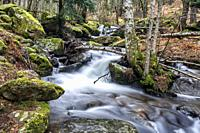Pines, birchs, rocks with moss and stream in Sierra de Guadarrama. Madrid. Spain. Europe.