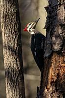 Pileated Woodpecker. (Dryocopus pileatus) [Female] - Brevard, North Carolina, USA.