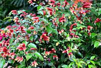 Mexican shrimp plant (Justicia brandegeeana) is an ornamental evergreen shrub native to Mexico.