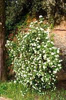 Laurustinus (Viburnum tinus) is a evergreen shrub native to Mediterranean basin. This photo was taken in a park of Barcelona city, Catalonia, Spain.