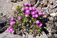 Pink carpet or trailing iceplant (Delosperma cooperi or Mesembryanthemum cooperi) is a creeping succulent plant native to South Africa and naturalized...