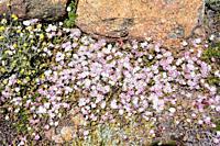 Magic carpet or redondo creeper (Drosanthemum floribundum) is a creeping succulent plant native to South Africa and naturalized in Mediterranean regio...