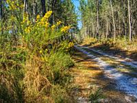 Scotch broom, Cytisus scoparius, beside a forest road near Allons, Lot-et-Garonne Department, Nouvelle-Aquitaine, France.