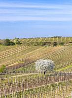 Spring vineyard near Cejkovice, Southern Moravia, Czech Republic.