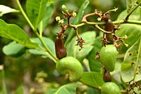 Cashew tree (Anacardium occidentale) is an evergreen small tree native to Central America and northern South America. Its fruits are edible. This phot...