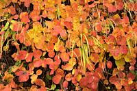 Smoke tree (Cotinus coggygria or Rhus cotinus) is a deciduous shrub native to southeastern Europe and central Asia. This photo was taken in Plitvice N...
