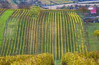Autumn vineyard near Cejkovice, Southern Moravia, Czech Republic.