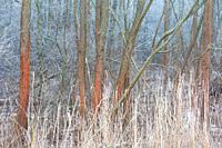 Lichen covered willows, Turiec region, Slovakia. .