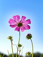 A single Zinnia wildflower with new buds seen from below against a blue sky.