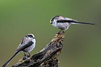 Two long-tailed tits / long-tailed bushtit (Aegithalos caudatus) perched on tree stump