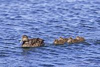 Common eider duck (Somateria mollissima) female with ducklings swimming in sea