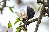 Almond tree's flowers and almond.