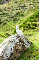 Jack Russell hunting for marmots in their burrows in the Italian Dolomites.