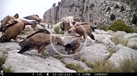 Griffon vultures (Gyps fulvus) flock feeding on a red fox corpse. Ludiente, Alto Mijares, Castellón, Spain.