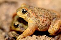 Iberian midwife toads (Alytes cisternasii) in Valdemanco, Madrid, Spain.