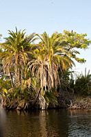 Senegal palm (Phoenix reclinata) is a Palm native to tropical Africa and Middle East and naturalized in Caribbean and Florida. Its fruits and palm hea...