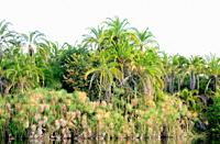 Senegal palm (Phoenix reclinata) is a Palm native to tropical Africa and Middle East and naturalized in Caribbean and Florida. Its fruits, heart. Firs...