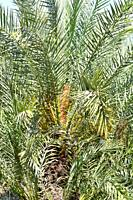 Cretan date palm (Phoenix theophrasti) is a palm endemic to Crete and nearby islands. With Chamaerops humilis are the unique native palms of Europe.