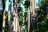 Caribbean royal palm (Roystonea oleracea) is a palm native to Caribbean and northern South America. The sap can be fermented to produce palm wine. Thi...