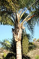 Queen palm (Syagrus romanzoffiana) is a palm native to South America. Its fruits are edible.