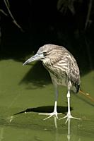 Nycticorax nycticorax, Blach-crowned Night Heron. The juvenile has a brown head, neck, chest and belly streaked with buff and white. Bird park, Singap...