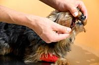 Close up view of a veterinary checking the teeths of a dog. High quality photo.