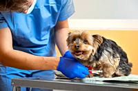 Veterinarian caring a Yorkshire terrier with an intravenous drip, at animal hospital. High quality photo.