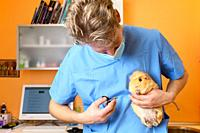 Veterinarian Doctor cutting nails to a guinea pig. High quality photo.